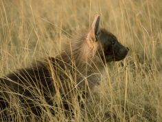 Jack's Camp - Brown Hyena