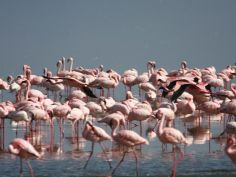 Lake Nakuru National Park, Flamingos sind die grosse Attraktion