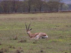 Lake Nakuru National Park, Grant Gazelle