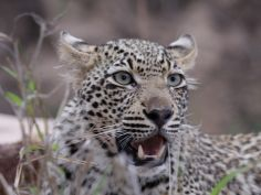 The Best of South Africa - Leopard im privaten Wildreservat