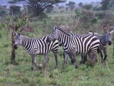 Kidepo Valley National Park - Zebras